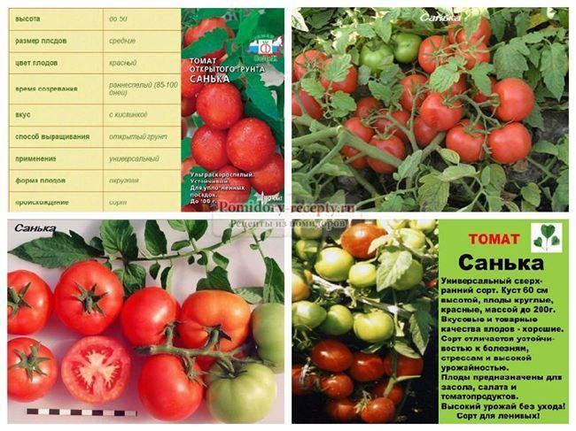 Болезни и вредители томатной культуры