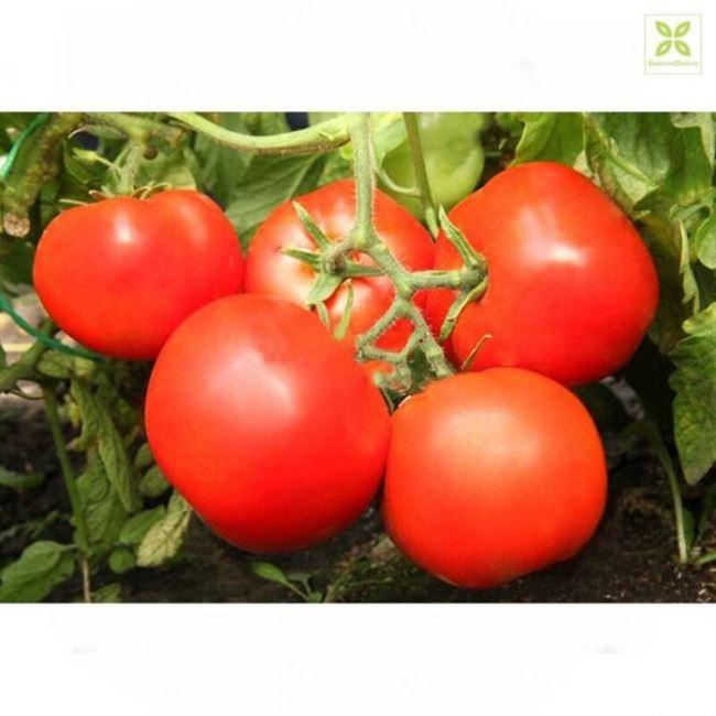 Описание и характеристика томата Красным красно F1, отзывы, фото