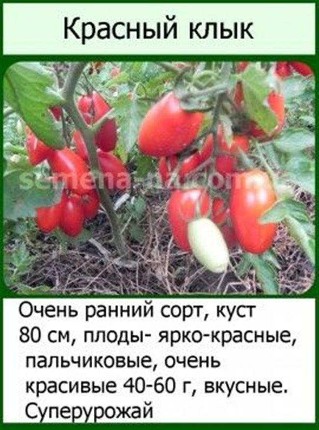 Томат Красный клык описание и характеристика сорта отзывы садоводов с фото
