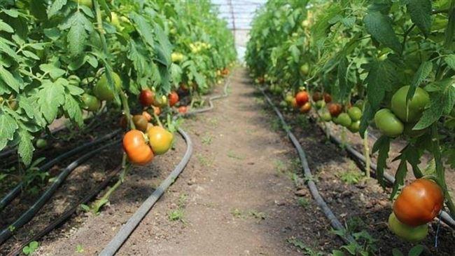 Рекомендации по выращиванию