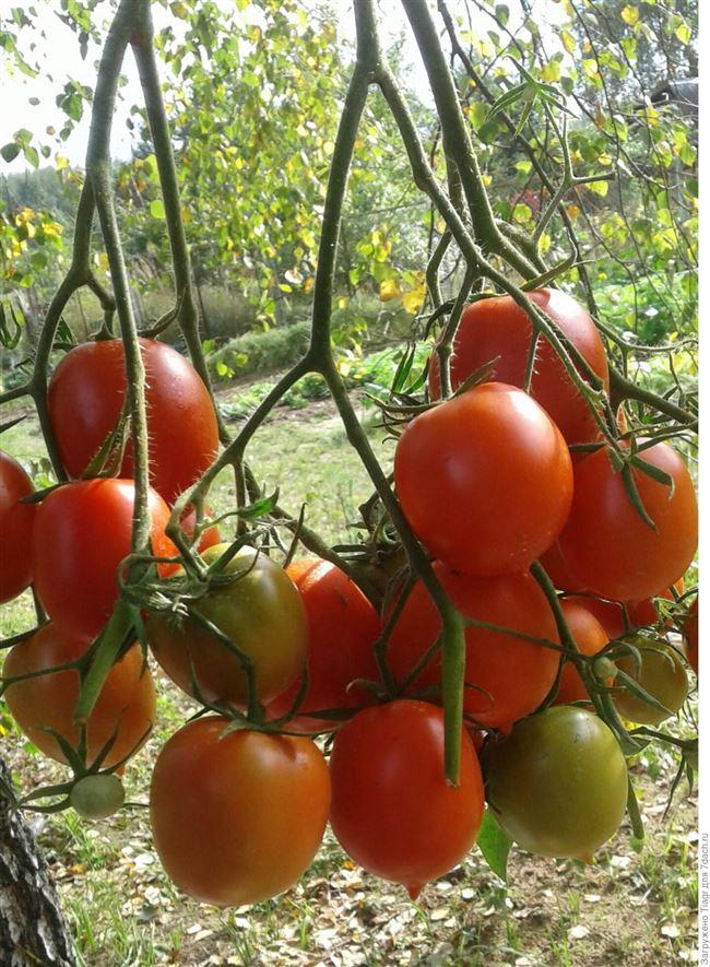 Болезни и вредители томатов сорта Чёрный принц