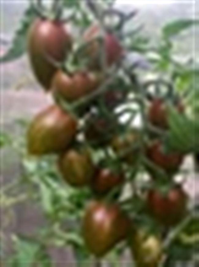 Описание томата Конфеты Сладкие сосульки, отзывы, фото