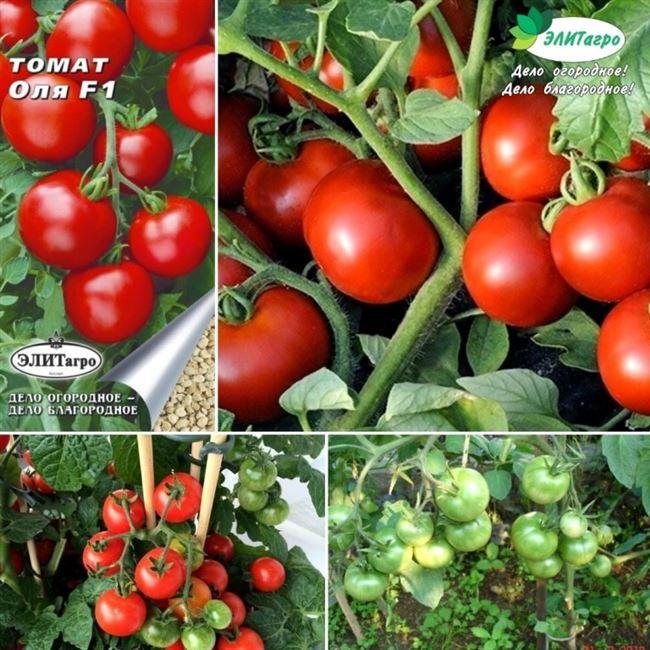 Описание сорта томатов Оля