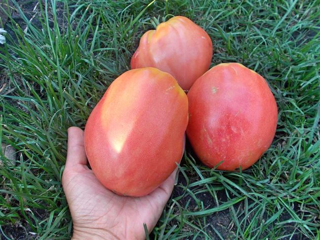 Описание сорта и характеристики плодов