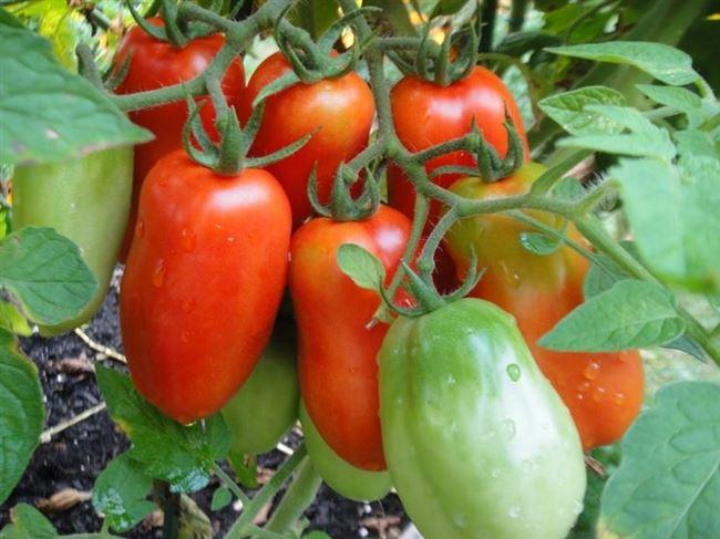 Как выглядит томат сорта Каспар F1