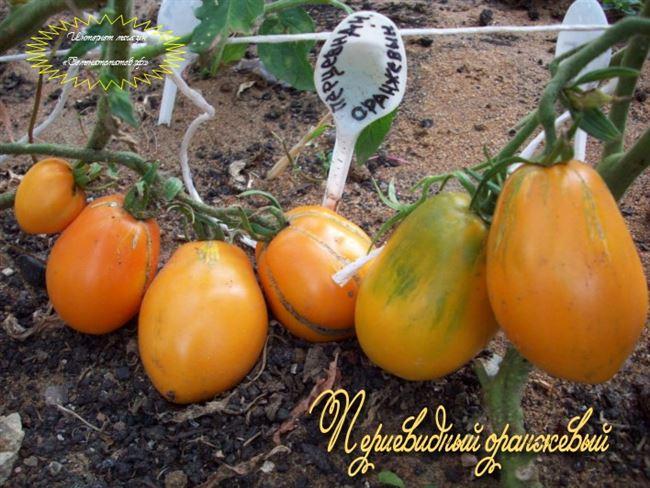 Описание и характеристика томата Перцевидный