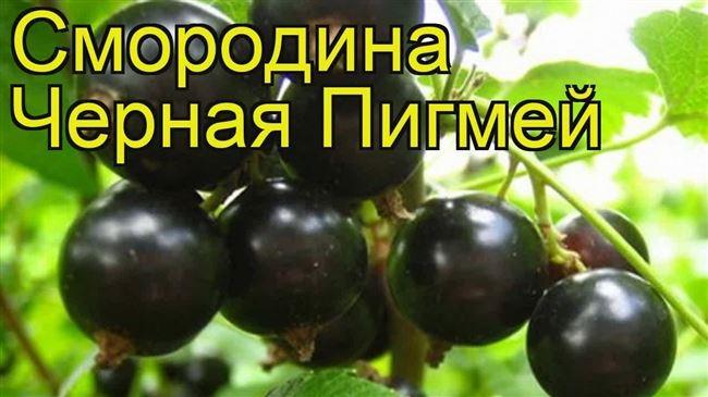 Посадка чёрной смородины