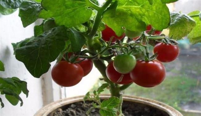 Выращивание и уход в открытом грунте