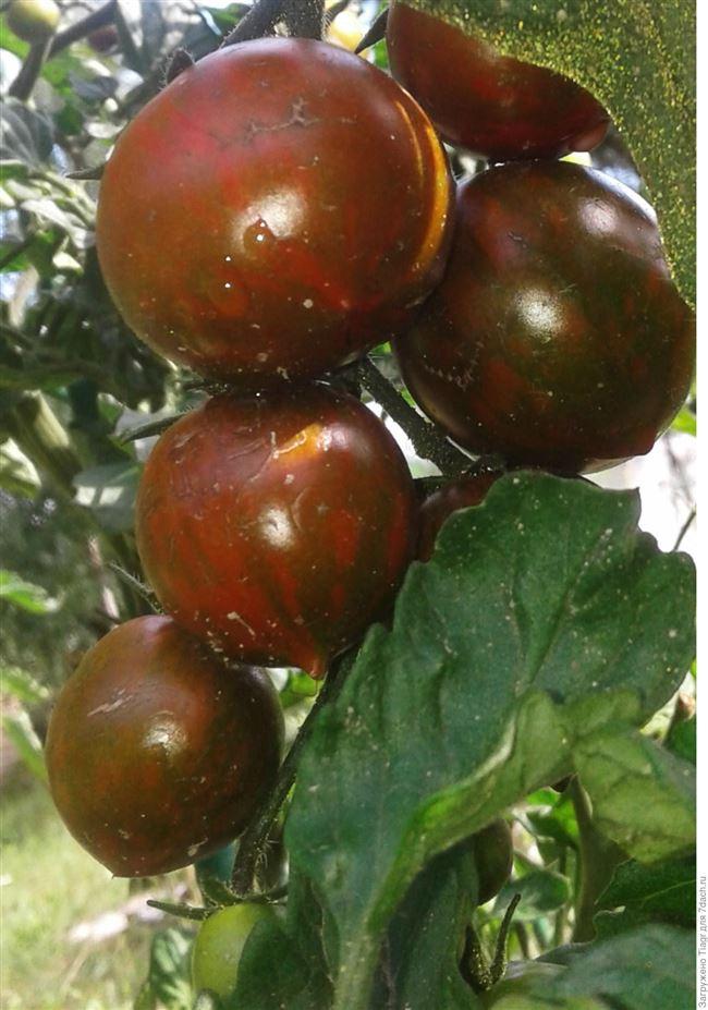 Урожайность томата Полосатый рейс и плодоношение