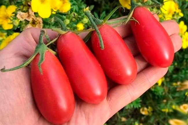 Описание помидоров Ракета