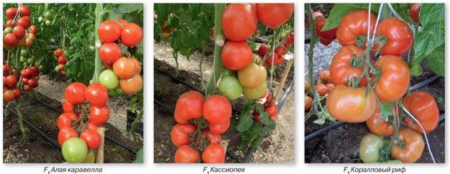 Описание раннего сорта томата Коралловый риф и его выращивание