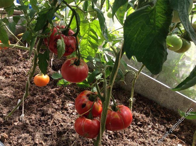 Плюсы и минусы сорта томатов Розмарин