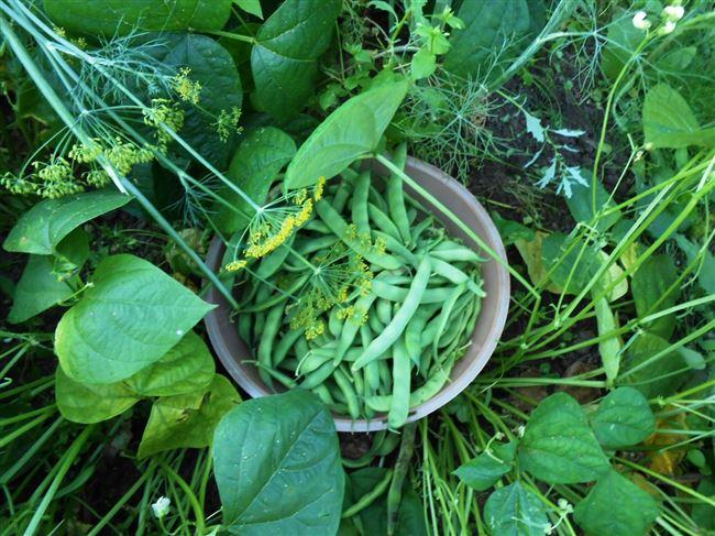 Посадка и выращивание вигны