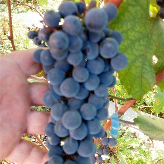 Виноград Башкирский: описание и характеристики сорта, особенности ухода и фото