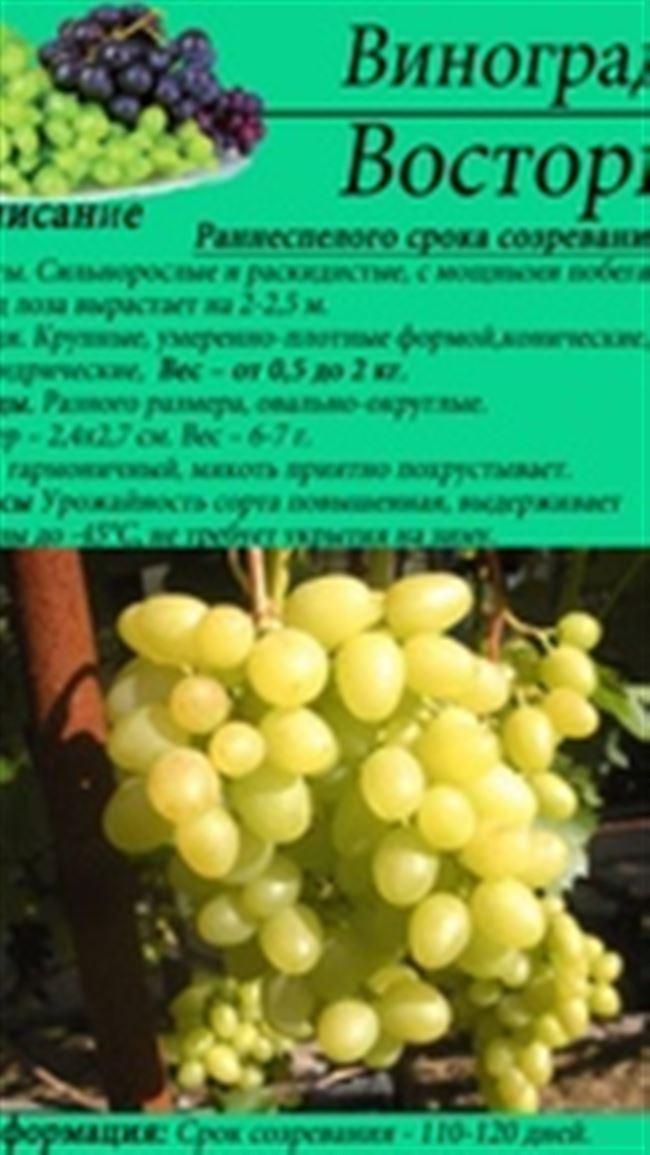 Виноград Восторг - описание сорта, фото, отзывы