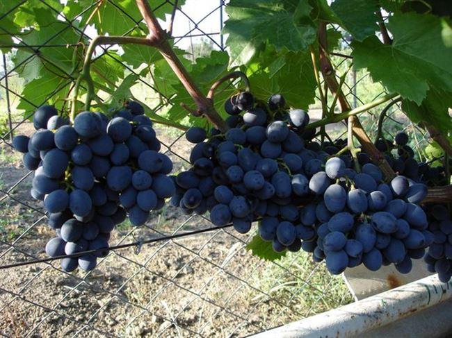 Виноград Гала - описание сорта, фото, отзывы