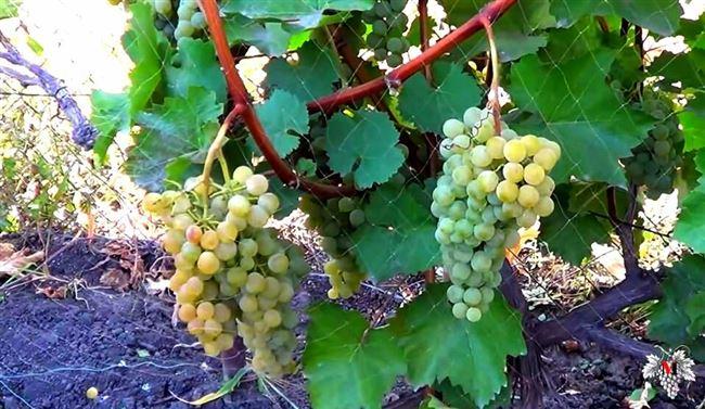 Характеристика сорта винограда «Магарача»