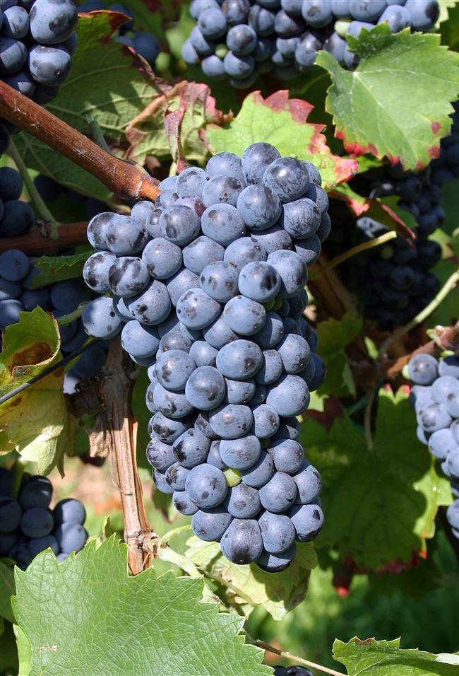 Виноград Денисовский - описание сорта, фото, отзывы
