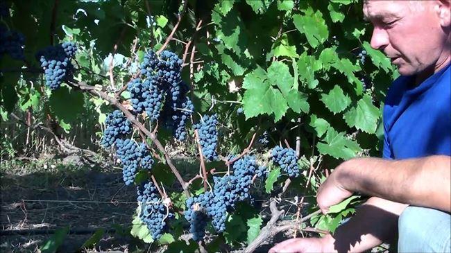 Описание винограда Денисовский