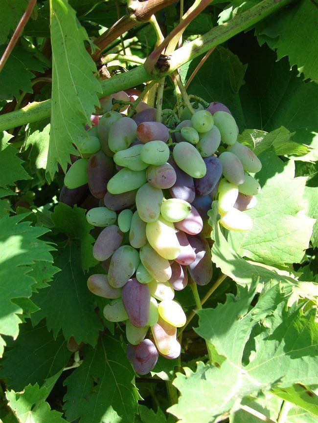 Описание сорта винограда Десертный