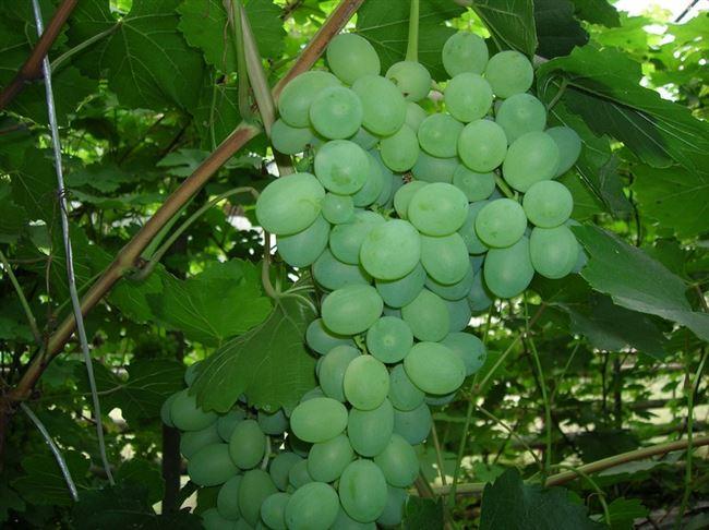 Виноград дойна описание сорта фото отзывы