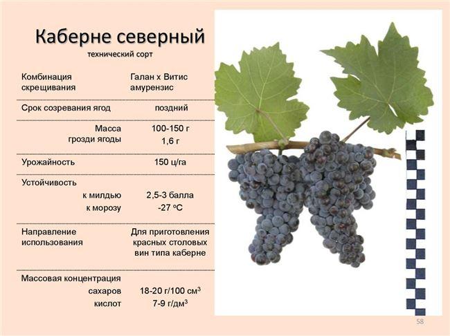 Описание и краткая характеристика лучших технических (винных) сортов винограда