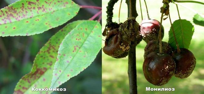 Основные грибковые заболевания вишни: