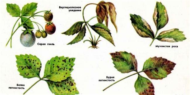 Какие существуют болезни листа клубники и их лечение в картинках