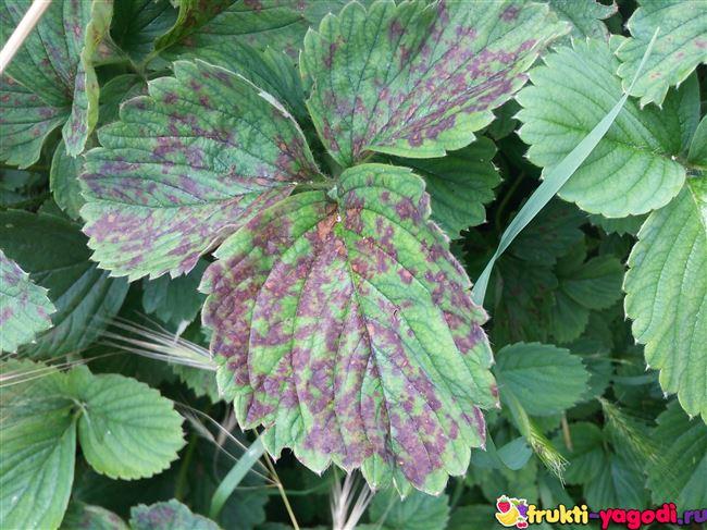 Бурая пятнистость листьев
