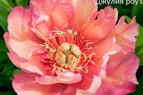 Пионы «Джулия Роуз»: описание сорта и особенности выращивания — Агро Журнал «RU Поле»