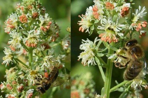 Цветок резеда душистая: описание куста, как посадить и вырастить растение на участке. Целебные свойства и популярные сорта.