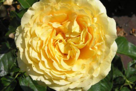 Роза Виктория – плетистое украшение сада