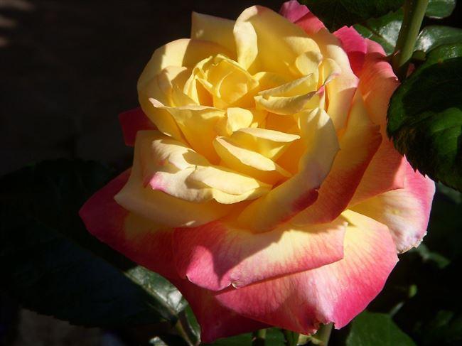 Rosa 'Gloria Dei'