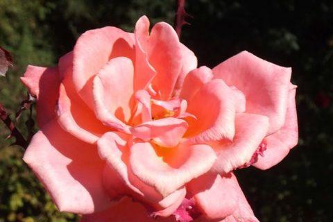 Просматривая коллекции розоводов, планируя что-нибудь еще посадить в саду, мне стало интересно, а что сохранилось от нашей Советской селекции.