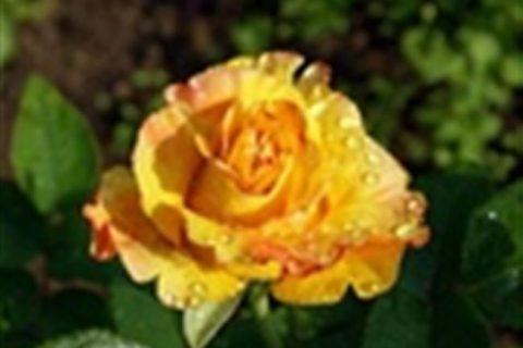 Солярис — сорт растения Роза