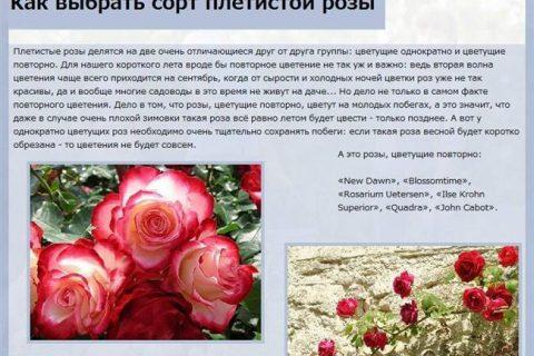 Роза-спрей сорта Яна   Отзывы покупателей