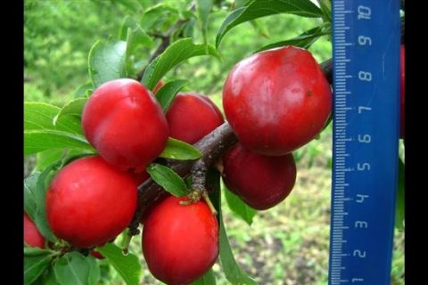 Горянка — сорт растения Слива китайская