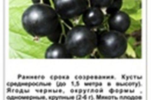 Чем отличаются сорта смородины, и по каким критериям их выбирают. Описание популярных сортов черной, красной, белой и зеленой смородины. Их урожайность, сроки созревания и другие особенности.