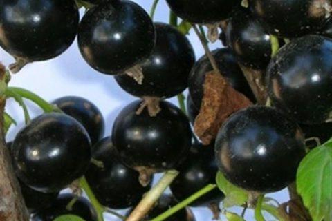 Брянский Агат — сорт растения Смородина черная