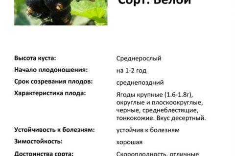 Смородина Велой: описание сорта, фото, отзывы, характеристики