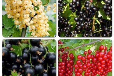 Как выбрать сорт чёрной смородины для посадки. Самые сладкие, самые крупные, самые ранние сорта. Смородина, которую можно выращивать в разных регионах.