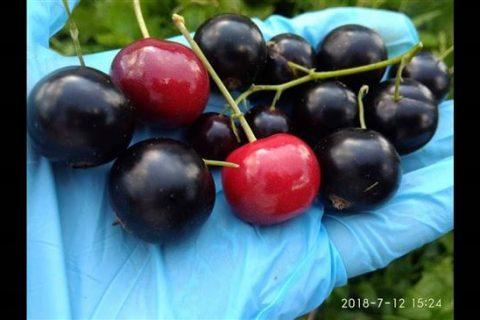 Смородина Гармония: описание, ТОП советов по выращиванию, фото