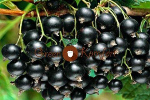 Черная смородина Деликатес: описание сорта, уход и выращивание