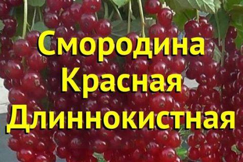 Длиннокистная — сорт растения Смородина черная