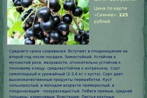 Сорт черной смородины Загадка: описание, отзывы