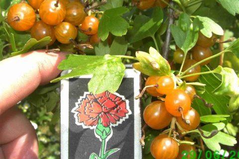 Смородина золотистая — прекрасная незнакомка. Мой сад, огород. Копилка дачного опыта.