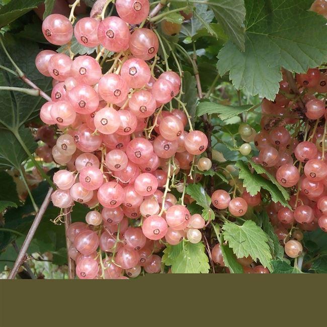 Смородина Мускат розовый