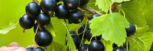 Надина - сорт растения Смородина черная