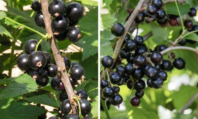 Смородина черная, Ribes nigrum