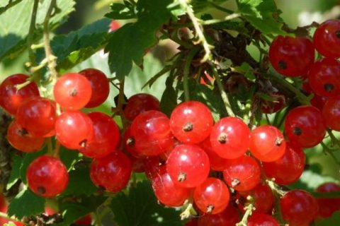 Красная смородина сорта Нива: описание сорта, фото